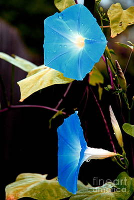 Photograph - Morning Glories 1 by Jonathan Harper
