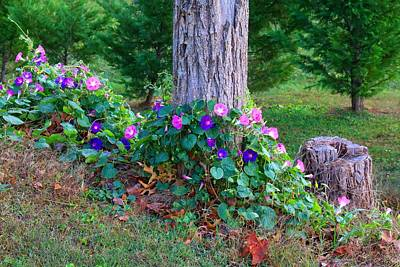 Photograph - Morning Glories 1 by Kathryn Meyer