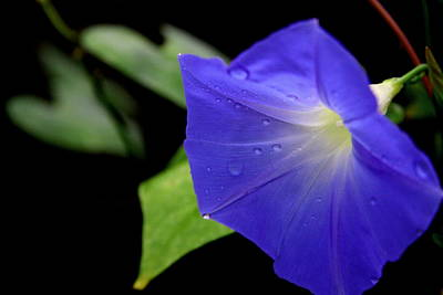 Photograph - Morning Glories 2 by Jonathan Harper
