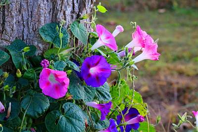 Photograph - Morning Glories 3 by Kathryn Meyer