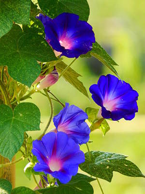 Photograph - Morning Glories In Bloom by Virginia Kay White