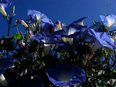 Photograph - Morning Glories by Larry Bacon