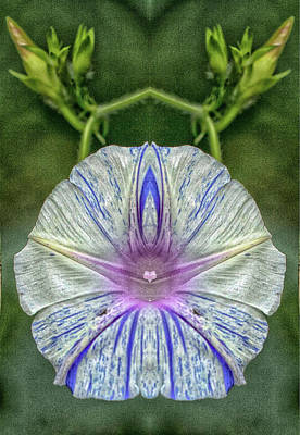 Photograph - Morning Glory Blossom  Pareidolia by Constantine Gregory