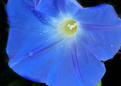 Photograph - Morning Glory Blues by Anne Sands