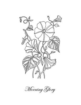 Drawing - Morning Glory Botanical Drawing by Irina Sztukowski