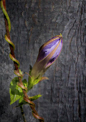 Photograph - Morning Glory Bud by Patti Deters