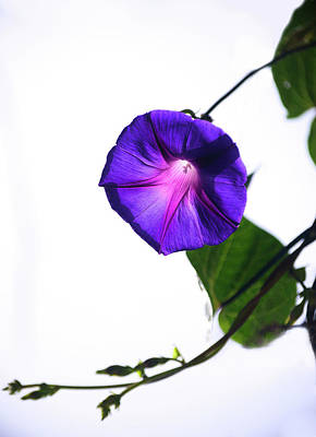 Photograph - Morning Glory by Camille Lopez