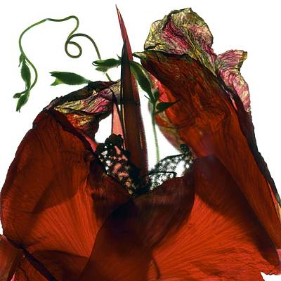 Morning Glory Canna Red Art Print by Julia McLemore