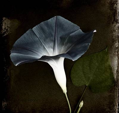 Photograph - Morning Glory  by Chris Berry