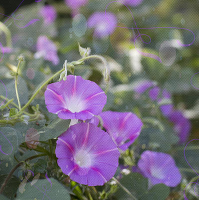 Photograph - Morning Glory Dreams by Amy Jo Garner