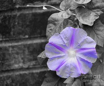 Photograph - Morning Glory Flower by Chad and Stacey Hall