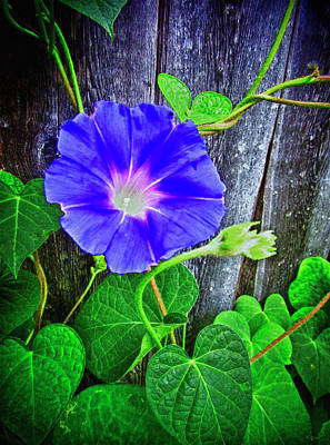 Photograph - Morning Glory Fresco Hdr by Tony Grider