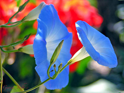 Photograph - Morning Glory by George Tuffy