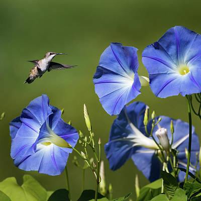 Blue Birds Photograph - Morning Glory Hummer Square by Bill Wakeley