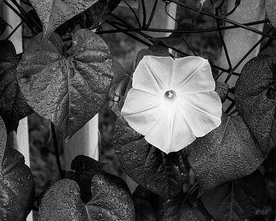 Photograph - Morning Glory I Bw by David Gordon