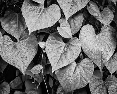 Photograph - Morning Glory II Bw by David Gordon