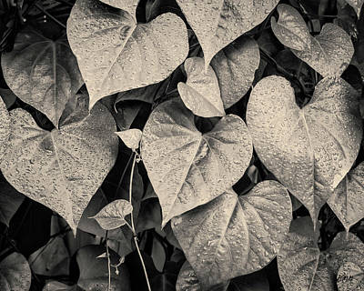 Photograph - Morning Glory II Toned by David Gordon