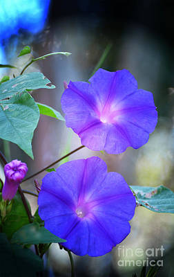 Photograph - Morning Glory by Kathy Baccari