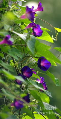 Photograph - Morning Glory by Marcia Lee Jones