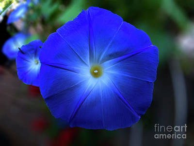 Photograph - Morning Glory  by Tom Jelen