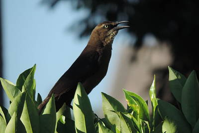Photograph - Morning Grackle by Bill Tomsa