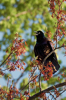 Photograph - Morning Grackle by Bill Wakeley