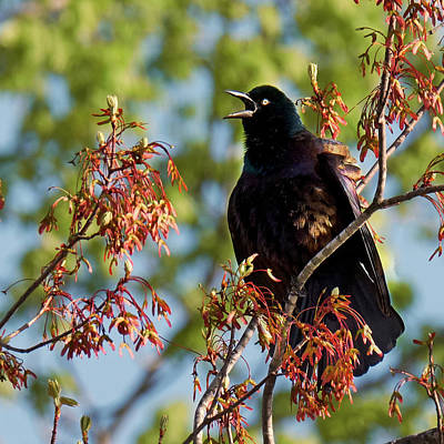 Photograph - Morning Grackle Square by Bill Wakeley