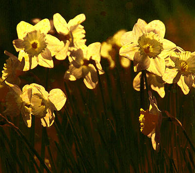 Photograph - Sunny Daffodils by Fine Art By Andrew David
