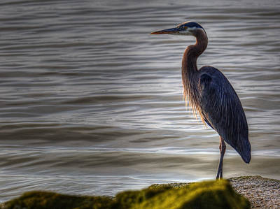 Photograph - Morning Heron by Randy Hall