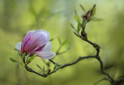 Photograph - Morning Impression With Pink Magnolia by Jaroslaw Blaminsky