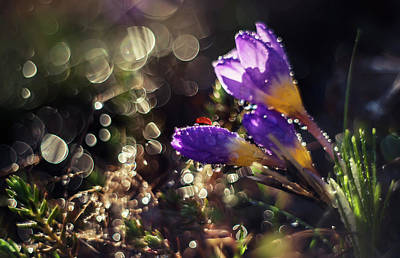 Photograph - Morning Impression With Violet Crocuses by Jaroslaw Blaminsky