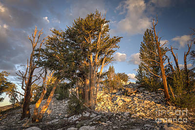 Bristlecone Photograph - Morning In The White Mountains by Jennifer Magallon