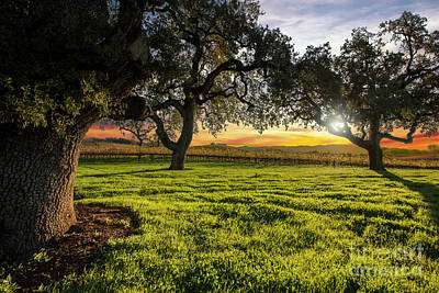 St Helena Photograph - Morning In Wine Country by Jon Neidert