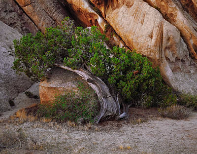 Photograph - Morning Juniper by Paul Breitkreuz