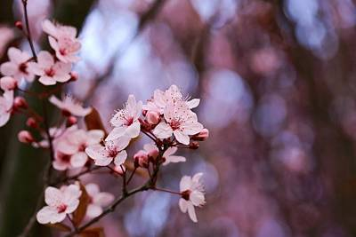 Photograph - Morning Light And Bokeh Blossoms by Lynn Hopwood