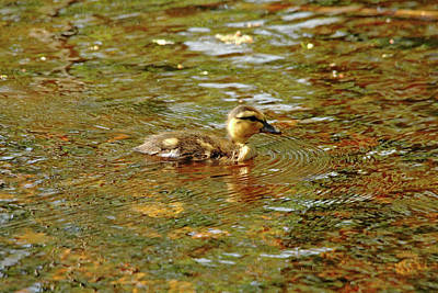Photograph - Morning Light Duckling by Debbie Oppermann
