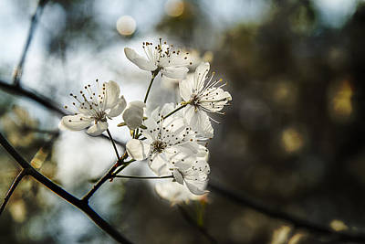 Photograph - Morning Light On The Dogwood by Barry Jones