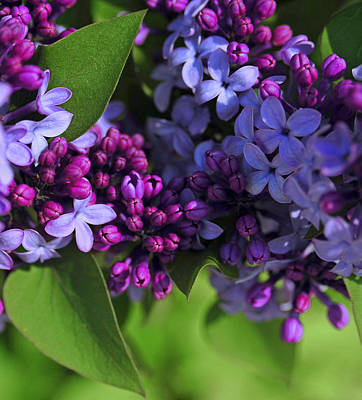 Morning Lilacs Art Print by The Forests Edge Photography - Diane Sandoval