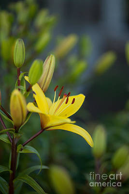 Lilies Royalty Free Images - Morning Lily Royalty-Free Image by Mike Reid