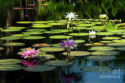 Photograph - Morning Lily Pads by Brian Jannsen