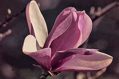 Photograph - Morning Magnolia Lavender by Theo O'Connor