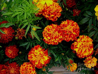 Photograph - Morning Marigolds by Dreamweaver Gallery
