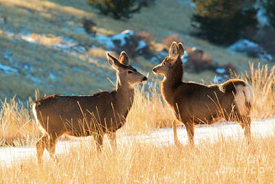 Photograph - Morning Mule Deer Does by Steve Krull
