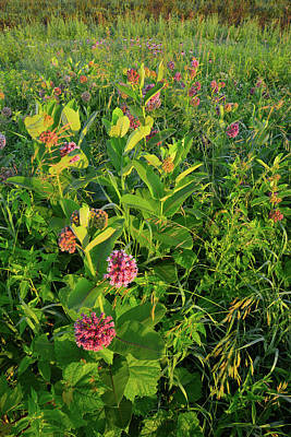 Photograph - Morning On Milkweed In Glacial Park by Ray Mathis