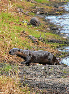 Photograph - Morning Otter Encounter 2 by William Tasker