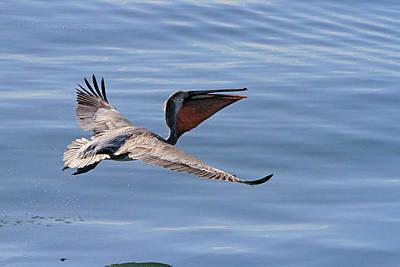 Morning Pelican Art Print