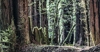 Photograph - Morning Redwoods by Shirley Mangini