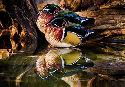 With Red. Photograph - Morning Reflections - Wood Ducks by TL Mair