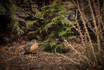 Photograph - Morning Robin by Kathleen Scanlan