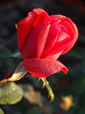Photograph - Morning Rose Frosted  by Rebecca Overton